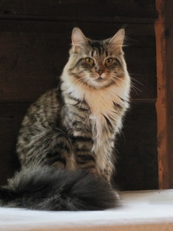 Maine Coon cat picture. Our sweet and friendly big girl. Brown mackerel tabby with white. Cathjoni Mia Mine