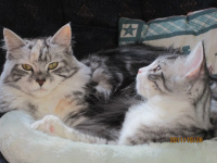 Picture of Miranda and Timber, two of our adult, Maine Coon cats