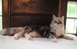 Maine Coon cat picture. Our gorgeous first Maine coon, a silver patched tabby with white. Hollowcoonz Miranda