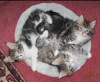 Picture of Mia's, 5-week-old, Maine Coon kittens
