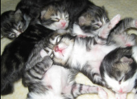 Picture of Mia's, 2-week-old, Maine Coon kittens